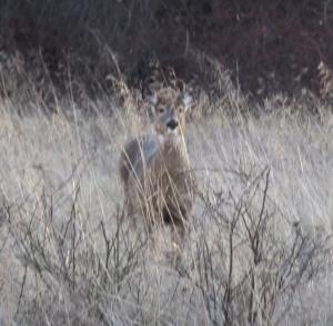 DeerColdSpring010115