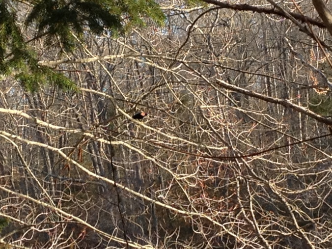 Can you spot the red-winged blackbird. iPhone shot requires use of squinting and imagination