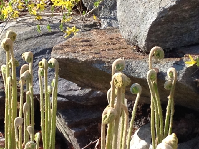 Can't swear that these are bona fide fiddleheads--they seemed awfully big to me.