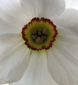 Poet's Daffodil, from Klasse im Garten on Flickr