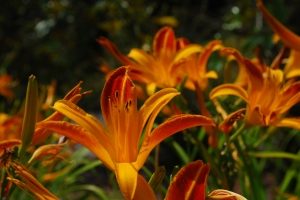 Day lillies from Flickr