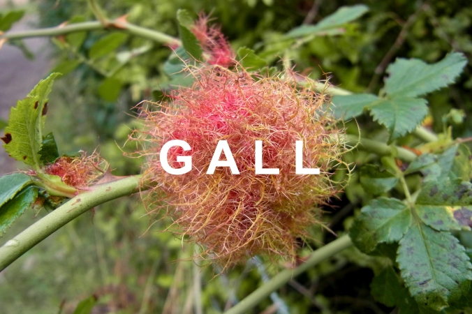 Gall 1 from flickr