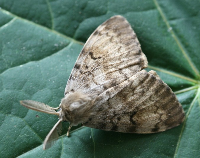 gypsy MOTH from flckr