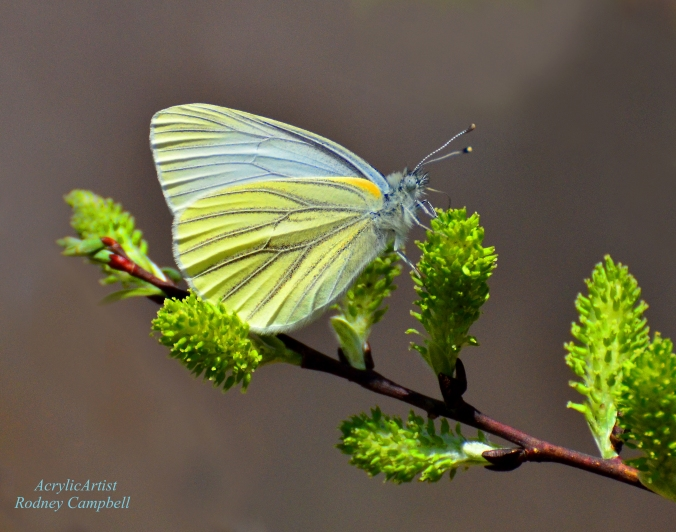 Butterfly on spicebush, image courtesy of Rodney Campbell on Flickr