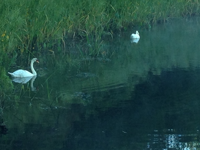 Pratt Cove swans graced the start of my walk