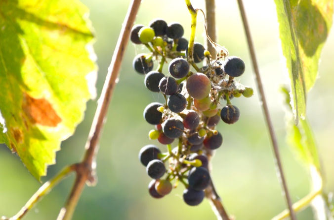 wild-grapes-flickr-cavinder