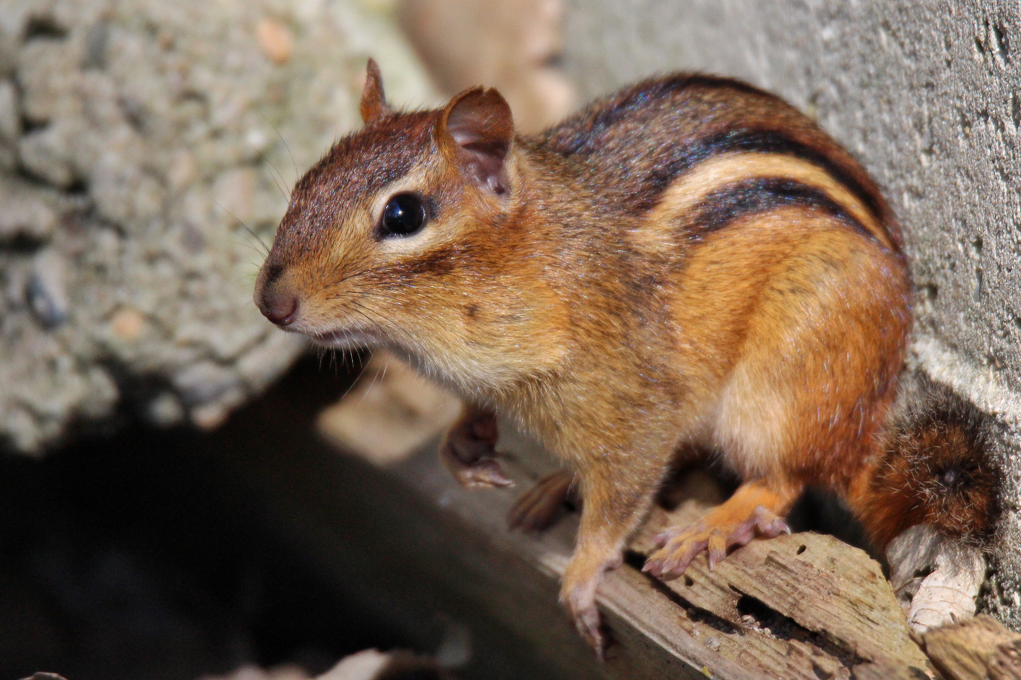The Squeaking Is Real Chipmunk Baby Boom First Person