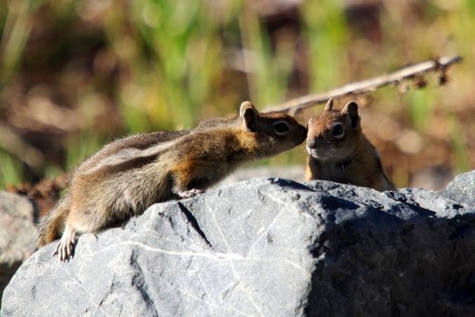 chipmunk kiss sarowen.jpg