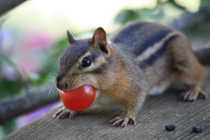 chipmunk-tomato-zdenek