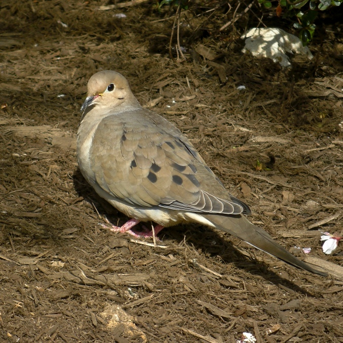 mourning dove flicker 2.jpg