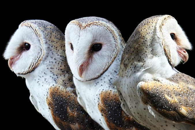 Barn owls by Georgie Sharp Flickr.jpg