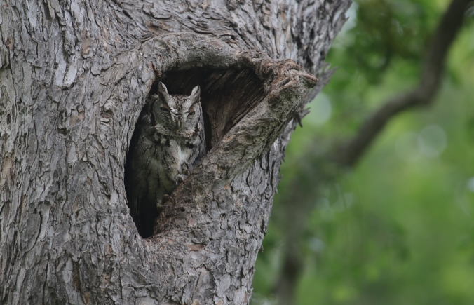 Screech Owl Gregory Smith Flickr.jpg