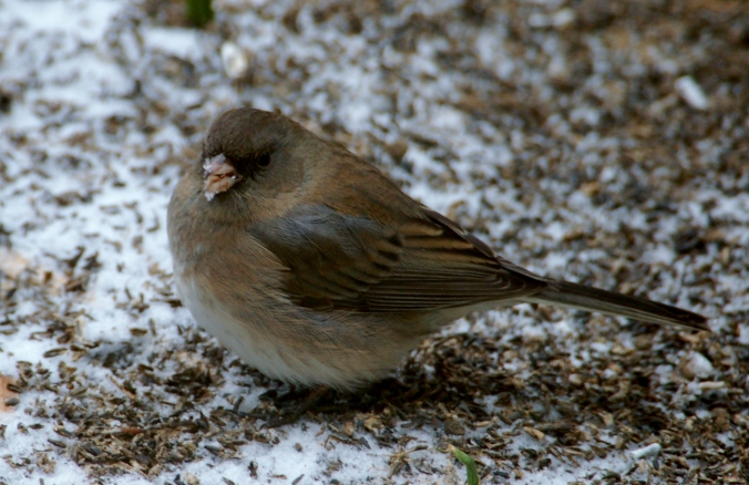 female-junco-by-pumpkin-ash-flickr