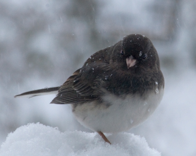 Junco flickr Cellini.jpg