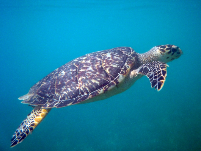 Sea Turtle norman walsh flickr.jpg