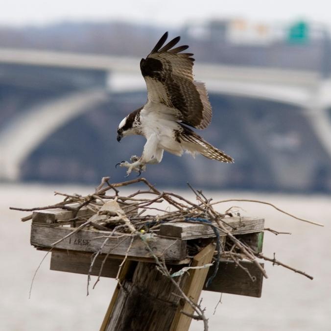 Osprey by Fritz Myer.jpg