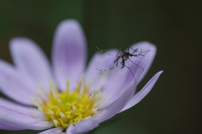 K Yamada mosquito.jpg