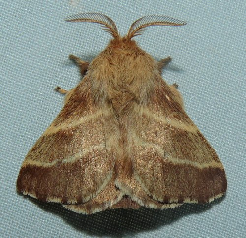 tent caterpillar moth Andy Reago
