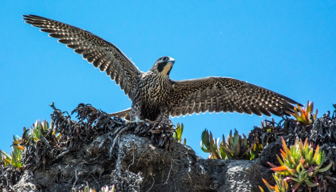 Peregrine stretching by Jeffrey Kirkhart
