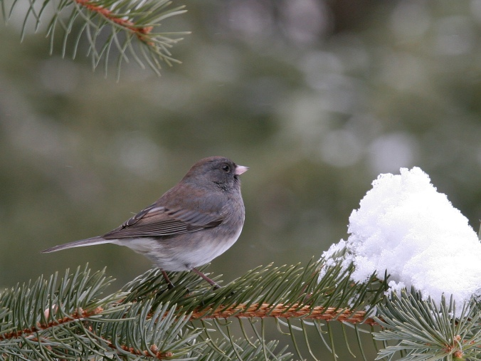 Juncos Dawn Huczek on Flicr