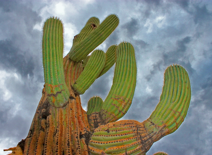 Saguaro by Psyberartist flickr.jpg