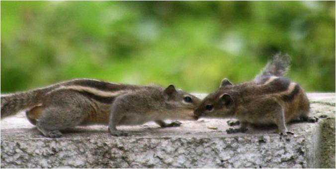 chipmunks by madhan Flickr
