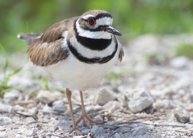 Killdeer by vladeb on Flickr.jpg