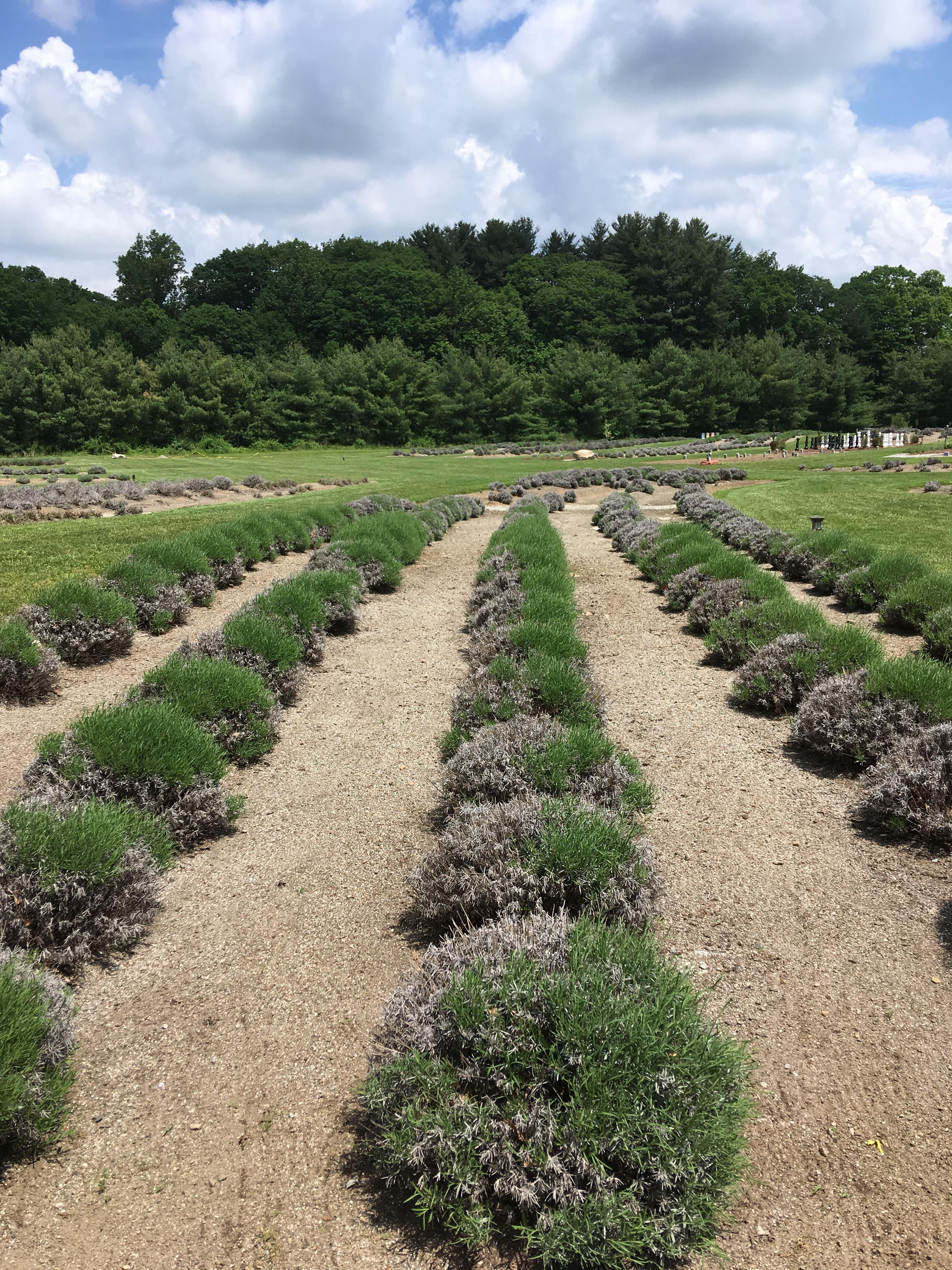 lavender fields.JPG