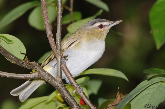 red eyed vireo from Flickr Kelly.jpg
