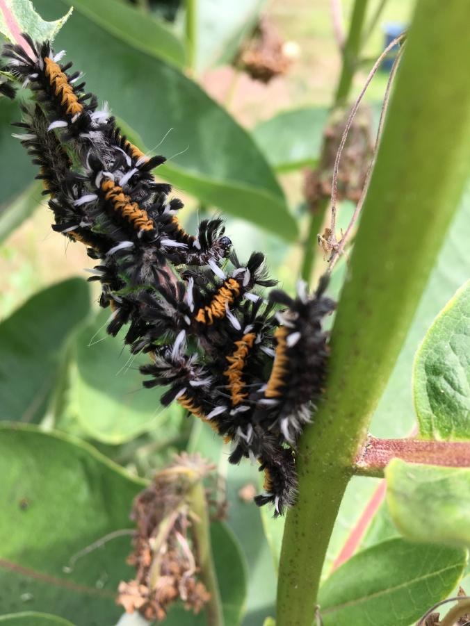 milkweed tussock moth caterpillars (Brainerd)