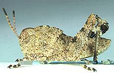 third instar
